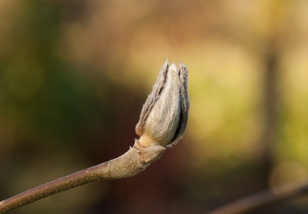 Later winter magnolia bud